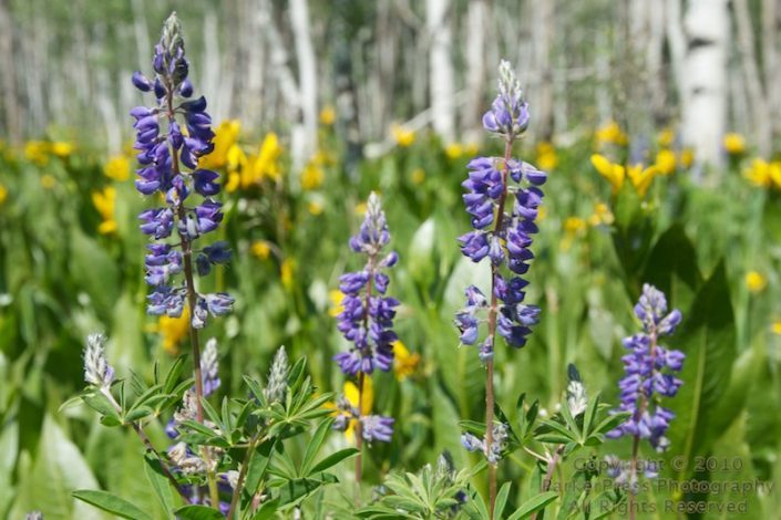 Steamboat Wildflowers